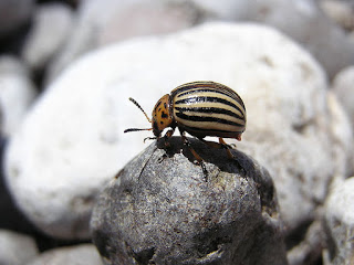Задачка: Температура колорадского жука.